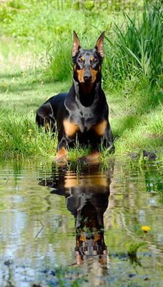 reflection of a #doberman