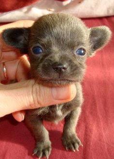 Adorable chiot chihuahua chocolat                                                                                                                                                                                 More