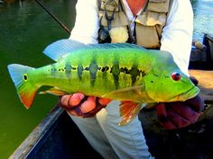 Tucunare picture from Colombia on Flydreamers.com the Fly fishing network. Sign Up and share your fly-fishing pictures.