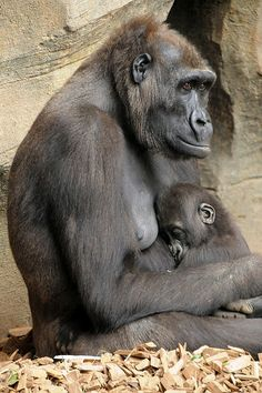 ˚Gorilla mom with baby