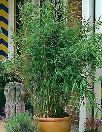 Vuoriruokobambu: talveksi sisätiloihin. Helpoin tapa kasvattaa ruukussa myös pihlla, kosk voi olla kova leviämään.