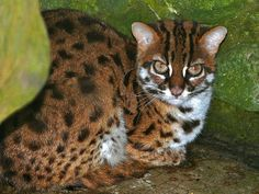 The leopard cat prionailurus bengalensis borneoensis is found only in Borneo.