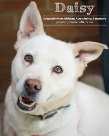 3 / 3     Petango.com – Meet Daisy V, a 8 years 2 months German Shepherd / Shiba Inu available for adoption in Salem, OH Contact Information Address  1859 Depot Road, Salem, OH, 44460  Phone  (330) 332-4897  Website  http://www.alchemyacres.org  Email  alchemyacres@aol.com