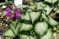 Purple Dragon Deadnettle ~ ground cover with silver toned leaf * moist shade * deer resistant * fast spreader, not invasive * flowers white, pink or purple