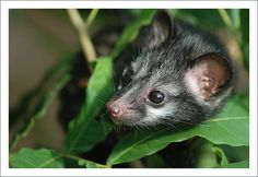 https://flic.kr/p/488yLh   Asian Palm Civet (young) 3   Katubedda, Sri Lanka.