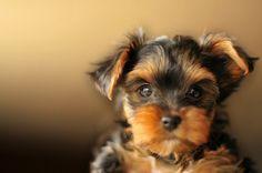 Perros de raza pequeña: Un ritmo elevado. Descubre más sobre una alimentación óptima para la salud de tu perro de raza miniatura. http://www.bypets.com/b-perros-raza-pequena-ritmo-elevado