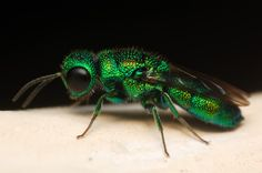 Cuckoo Wasp from the Philippines.