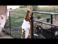 You will never see anything like it! Pumpkin drags the step stool and chairs over to the gate, then proceeds to try to figure out how to get out! Incredible! A Mission Impossible made POSSIBLE!
