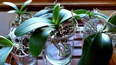 Converting your orchids to water culture. What to expect the first month. Converting your orchids to Inside Plants, All Plants, Garden Plants, Indoor Plants, Potted Plants, Water Culture Orchids, Orchids In Water, Phalaenopsis Orchid, Orchid Plants
