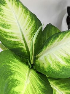 Dumb Cane Care: How to Care for Dieffenbachia Houseplants Peperomia Plant, Pothos Plant, Dumb Cane Plant, Zz Plant, Lower Lights, Plant Lighting, Fiddle Leaf Fig, Neem Oil, Snake Plant