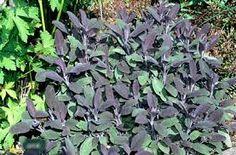 Image result for purple sage