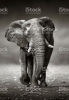 Elefante abordagem da frente royalty-free stock photo