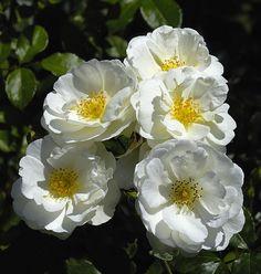 Cluster of White Iceberg Roses - D2X-8-23-09_25226-