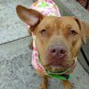 Manhattan NY.  Trixie.  Female.  2 yrs.  GIVEN ANOTHER CHANCE.Dies in a.m.  See Urgent Part 2 on fb.