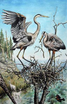 Peter Collins | Great Blue Herons Nesting