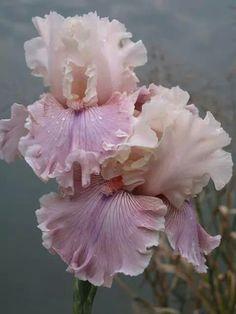 Photo of the bloom of Tall Bearded Iris (Iris 'Cross My Heart') Amazing Flowers, My Flower, Beautiful Flowers, Peony Flower, Iris Garden, Garden Plants, Iris Flowers, Planting Flowers, Pink Flowers