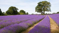 Explore the lavender fields in the USA. See the purple fields in Blanco Texas, a short drive from Austin, every June. Texas Vacations, Texas Roadtrip, Texas Travel, Vacation Trips, Weekend Trips, Texas Hill Country, Texas Farm, Texas Usa, The Places Youll Go