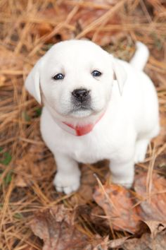 I really enjoy raising our beautiful WHITE labrador Retrievers at our ranch in TEXAS! www.legacy-labs.com is our website and www.facebook.com/... is our Facebook page. We lovingly raise our gorgeous pups and are happy to answer any questions that you may have! Puppies