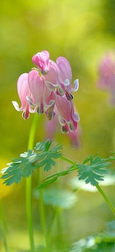 Spring Bleeding Hearts #floral #bokeh #photography