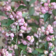 Pink Snowberries   Seasonal Autumn Flowers on the Amanda Austin Flowers Blog #snowberry #snowberries #autumn