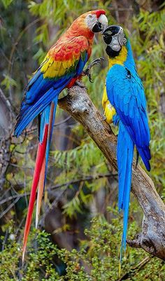 Left is the Scarlet Macaw. Facing him is the most popular among big bird folk, the Blue and Gold Macaw. Tropical Birds, Exotic Birds, Colorful Birds, Colorful Parrots, Most Beautiful Birds, Pretty Birds, Beautiful Pictures, Kinds Of Birds, All Birds