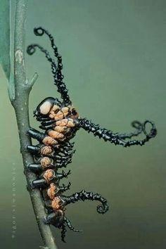 Brahmaea Certhia Caterpillar.