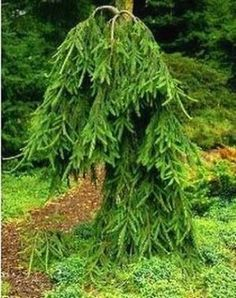 Picea abies Frohburg    3 - Year Graft