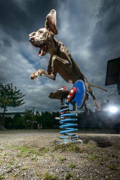 "500px / Photo ""jumping weimaraner dog"" by Klaus Dyba"