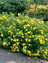 Pensashanhikki Goldfinger. Korkeus: 100 cm. Kukkii heinäkuun alusta myöhäissyksyyn. Kasvupaikka aurinko, jopa paahde, kuiva–tuore, keskiravinteinen ja hyvin vettä läpäisevä maa.