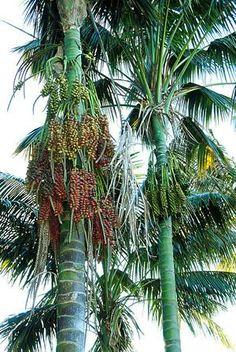A kentia é uma palmeira de estipe elegante, com folhagem e frutificação ornamentais, nativa da Ilha de Lord Howe, pertencente à Austrália. Ela se tornou co