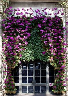 Longwood orchid curtain.