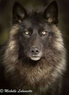 Wolves!! Love 'em. I have a heart full of animal love, especially endangered or reviled. I LOVE animals. This is me.