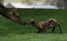 This picture was taken when the elk calf was just 25 minutes old at Mammoth Hot Springs. (Photo byJim Peaco)  via @AOL_Lifestyle Read more: https://www.aol.com/article/news/2017/03/07/just-63-amazing-animal-photos-from-the-department-of-the-interio/21874484/?a_dgi=aolshare_pinterest#fullscreen