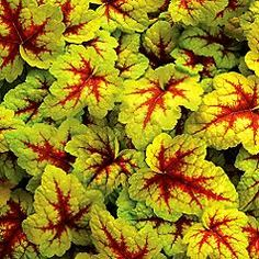 Heuchera 'Stop light'...want this under my Black Magic rose bushes