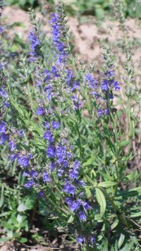 Pflanze Ysop, Isop (Hyssopus officinalis)