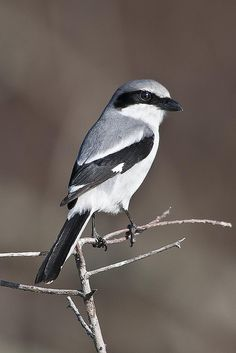 Loggerhead Shrike - Fontainebleau State Park by Point Images, via Flickr