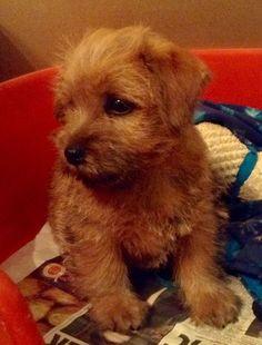 kc-registered-red-norfolk-terrier-pup-for-sale-5570a35bcd1ca.jpg (973×1280)
