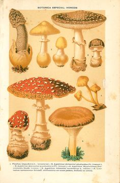 This antique print of wild mushrooms is a color lithograph published in 1892 by Montaner & Simon in Barcelona, Spain. Frame it and use it as Vintage Botanical Prints, Botanical Drawings, Antique Prints, Vintage Prints, Poisonous Mushrooms, Wild Mushrooms, Stuffed Mushrooms, Mushroom Art, Mushroom Fungi
