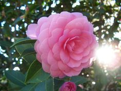Love the symmetry of camellias