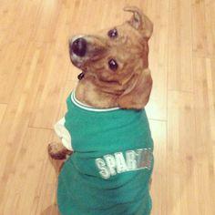 #michiganstate #spartans #puppy #pitbull #germanshepherdmix #Padgram