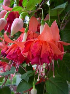 Bicentennial small sprawls plant with very large flowers. Good for hanging baskets. Flamboyant frilly flowers, trailing plant