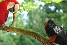 Papegaai vs aap. Parrot vs monkey. apenheul 2012. #fotografie