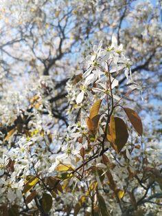 May 15, 2019. Serviceberry Dandelion, Flowers, Plants, Dandelions, Florals, Planters, Flower, Blossoms, Plant