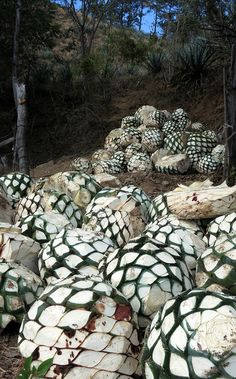 see how mezcal is produced