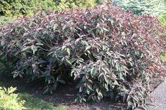 Hydrangea aspera 'Hot Chocolate' -hortensia, komt uit Vietnam, redelijk winterhard, heeft bruinrood blad, bloeit aug-sept met lilaroze bloemschermen. Na 10 jaar 2.50 hoog.