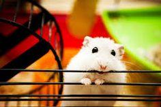 Resultado de imagen para imagenes de hamsters