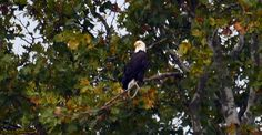 Male in Sycamore Tree