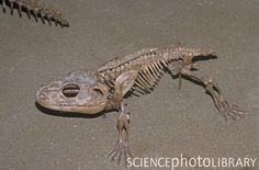 Cacops, an early Amphibian fossil