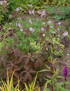 3 planted  right front. Geranium Espresso by Kattka
