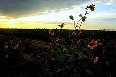 Photography. Sunflower Sunset. Sunset. Skyline. Landscape. California. California Valley.